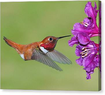Rufous N Blooms Canvas Print