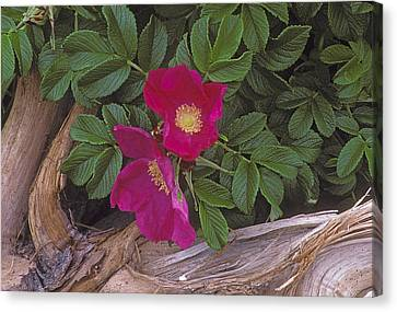 Rugosa Rose And Driftwood Canvas Print