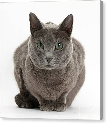Russian Blue Cat Canvas Print by Mark Taylor