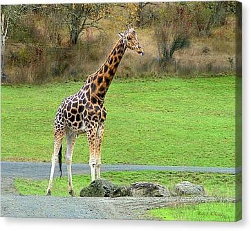 Safari Giraffe Canvas Print