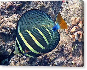 Sailfin Tang Expanded Canvas Print by Bette Phelan