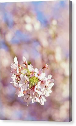 Sakura, Pink Cherry Blossom Tree Canvas Print by Bonita Cooke