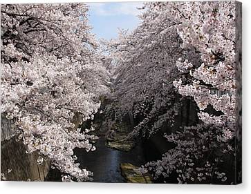 Sakura Tree Near River Canvas Print