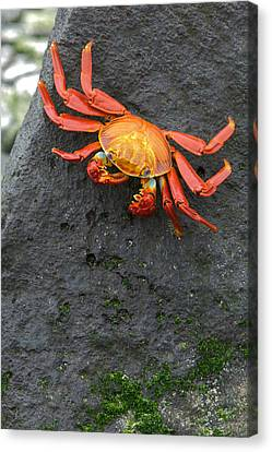 Sally Lightfoot Crab, Grapsus Grapsus Canvas Print by Tim Laman