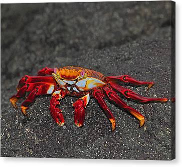 Sally Lightfoot Crab Canvas Print by Tony Beck