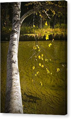 Salmon During The Fall Migration In The Little Manistee River In Michigan No. 0887 Canvas Print by Randall Nyhof