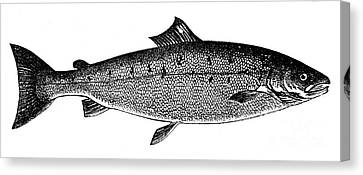 Salmon Canvas Print by Granger