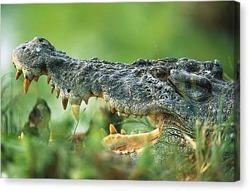 Saltwater Crocodile Crocodylus Porosus Canvas Print by Cyril Ruoso
