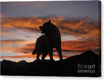 Samoyed At Sunset Canvas Print by Kent Dannen and Photo Researchers