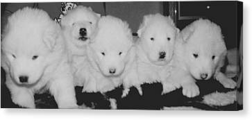 Samoyed Puppies Canvas Print by Tammy Sutherland