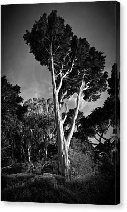 San Francisco Tree Canvas Print