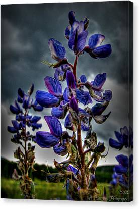 San Francisco Volcanic Field Silver Lupines Hdr Canvas Print by Aaron Burrows