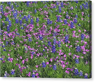 Sand Bluebonnet And Pointed Phlox Canvas Print