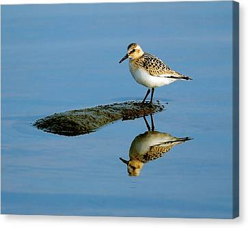 Sanderling Reflecting Canvas Print by Tony Beck