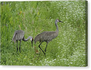 Canvas Print featuring the photograph Sandhill Cranes And Chick by Bradford Martin