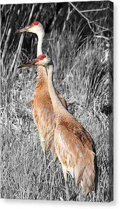 Sandhill Cranes In Select Color Canvas Print by Mark J Seefeldt