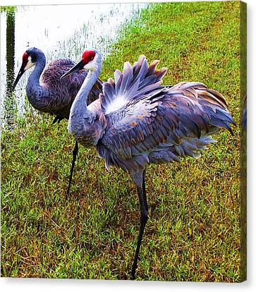 Canvas Print featuring the photograph Sandhill Cranes-plumes In Bloom by Joy Braverman