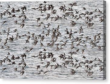 Canvas Print featuring the photograph Sandpipers In Flight by Dan Friend