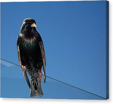 Santa Monica Pier Starling Canvas Print by Peter Mooyman
