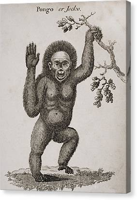Satyrus, Ourang Outang. Pongo Or Jocko Canvas Print by Ken Welsh