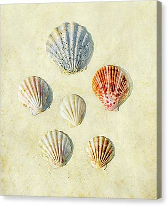 Scallop Shells Canvas Print by Paul Grand Image