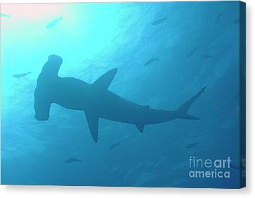 Scalloped Hammerhead Shark Canvas Print by Sami Sarkis