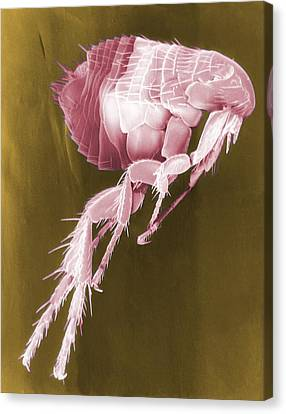 Scanning Electron Micrograph Of A Flea Canvas Print by Everett