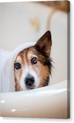 Domestic Bathroom Canvas Print - Scared Dog Getting Bath by Hillary Kladke