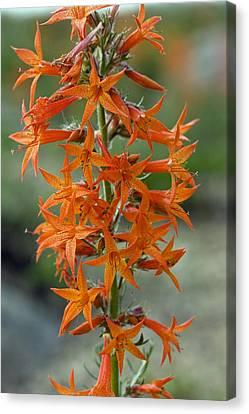 Scarlet Gilia (ipomopsis Aggregata) Canvas Print