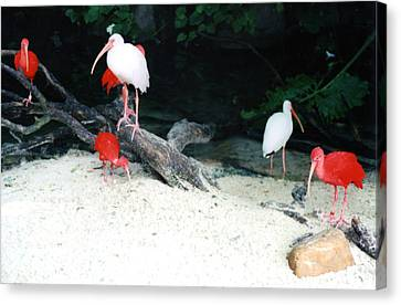 Canvas Print featuring the photograph Scarlet Ibis And Spoonbills by Maureen E Ritter