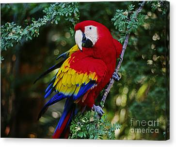 Canvas Print featuring the photograph Scarlet Macaw - Guatemalan Rainforest by Craig Lovell