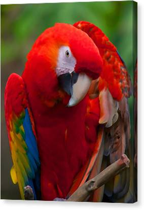 Canvas Print featuring the photograph Scarlet Macaw by Cindy Haggerty