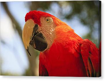 Nature Study Canvas Print - Scarlet Macaw Parrot by Adam Romanowicz
