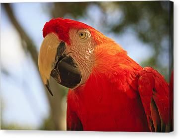 Scarlet Macaw Parrot Canvas Print by Adam Romanowicz