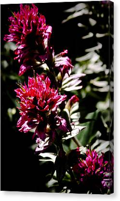Scarlet Paintbrush Canvas Print by David Patterson