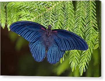 Scarlet Swallowtail Canvas Print