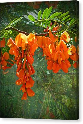 Scarlet Wisteria Tree - Sesbania Punicea Canvas Print by Mother Nature