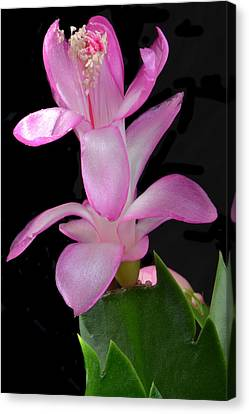 Schlumbergera Bloom. Canvas Print by Terence Davis