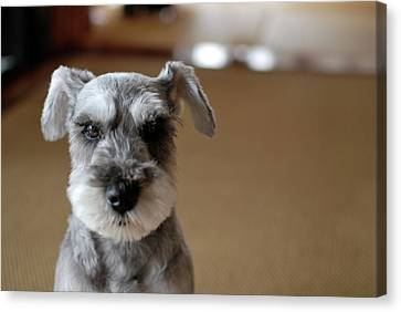Schnauzer Puppy Canvas Print by Ugopapa