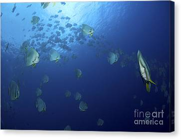 School Of Batfish, Christmas Island Canvas Print by Mathieu Meur