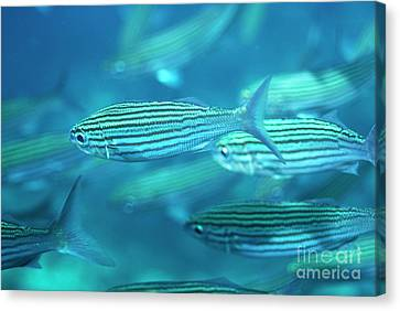 School Of Black Striped Salema Fishes Canvas Print by Sami Sarkis