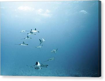 School Of Devil Rays Canvas Print by Alexander Safonov