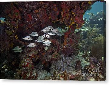 School Of Gray Snapper Amongst Canvas Print by Terry Moore