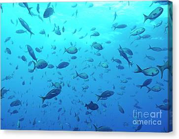 School Of Grunt Fish Canvas Print by Sami Sarkis