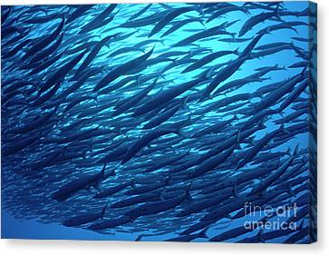 School Of Pelican Barracudas Canvas Print by Sami Sarkis