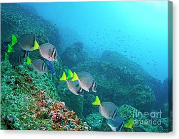 School Of Razor Surgeonfish On Rocky Seabed Canvas Print by Sami Sarkis