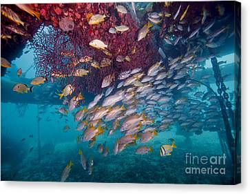 Schools Of Gray Snapper, Yellowtail Canvas Print by Terry Moore