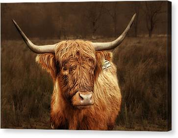 Scottish Moo Coo - Scottish Highland Cattle Canvas Print by Christine Till