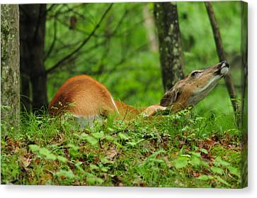Canvas Print featuring the photograph Scratching An Itch by Mike Martin