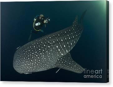 Scuba Diver And Whale Shark, Papua Canvas Print by Steve Jones